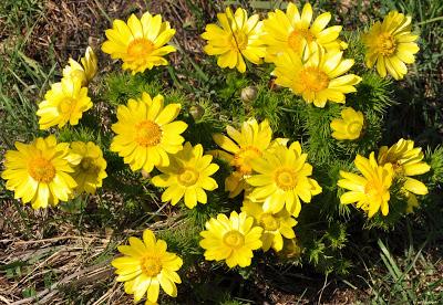 Budakalász virágai - hérics